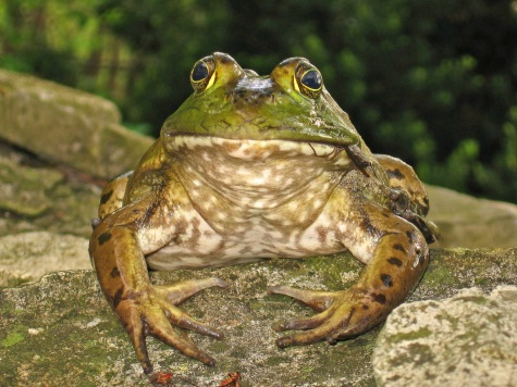 bullfrog-1369128-1280x960.jpg
