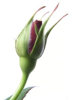 rose-bud-1310270-1279x1732.jpg