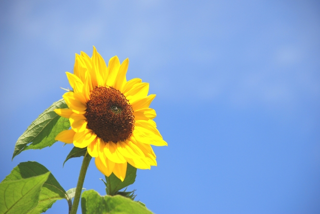 sunflowers-1367700-1599x1070.jpg